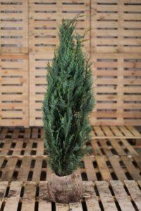 Heckenpflanzen-Heijnen-blaue-Scheinzypresse-Chamaecyparis-Lawsoniana-Columnaris-Glauca